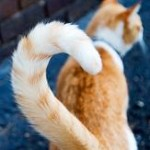 Why cats don't wag their tails