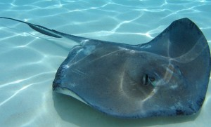 Facts+About+Stingrays Stingray Facts